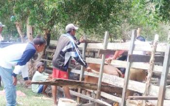 Dinas Ketahanan Pangan dan Pertanian saat melalukan pemeriksaan reproduksi induk sapi di Kecamatan Pantai Lunci.
