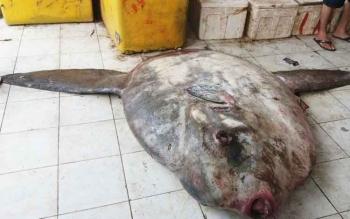 Ikan mola-mola seberat 200 kilogram yang ditemukan nelayan Desa Sungai Undang dan dibawa ketempat Pangakalan Pendaratan Ikan (PPI) Kuala Pembuang, Sabtu (1/4/2017) sore.