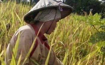 Petani di wilayah Kabupaten Gunung Mas saat panen padi ladang.
