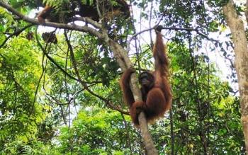 RSPO Lihat Aktivitas Pelepasliaran Orangutan di Pulau Salat