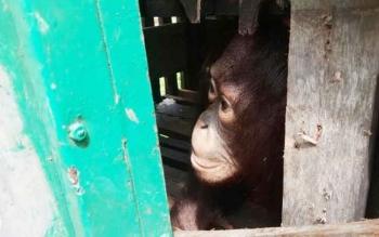 Orangutan yang dipelihara warga Desa Hampalam, Kecamatan Tewang Sangalang Garing, Kabupaten Katingan, ini sesaat sebelum disita Tim Rescue Reaksi Cepat Seksi Konservasi Wilayah 1, Kamis (6/4/2017).