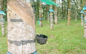 Kebun karet warga di Kabupaten Barito Utara