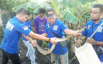 Petugas Balakar 545 Kapuas berhasil menangkap ular sawa yang memangsa ayam, Senin (17/4/2017)