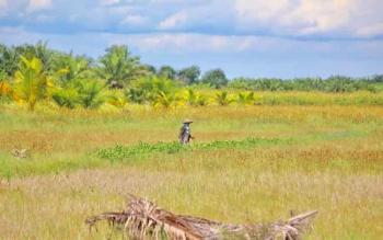 Lahan pertanian milik warga Desa Tanjung Terantang terlantar dan gagal panen akibat larangan membakar lahan.