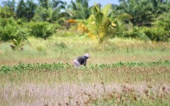 Petani di Tanjung Terantang tengah membersihkan sawah untuk kembali ditanami padi, Sabtu (28/4/2017)