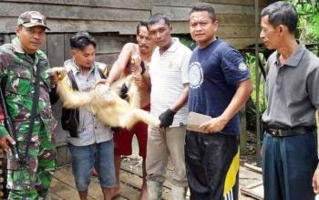 Jajaran Polsek Kapuas Hulu bersama Babinsa memegang orangutan langka dengan bulu putih sesaat setelah disita dari tangan warga, Sabtu (29/4/2016).