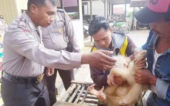 Anggota Polsek Kapuas Hulu memegangi orangutan langka yang berhasil diselamatkan.