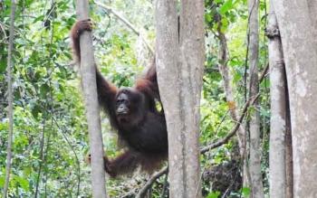 Konservasi Orangutan di Pulau Salat Bukti PT SSMS Tbk Sepakat Jaga Hutan