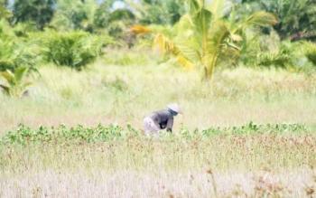 Petani di Desa Tanjung Terantang saat menebas ilalang di sawah miliknya belum lama ini. Kini para petani bingung karena dilarang membakar, jika itu dilakukan imbasnya mereka selalu gagal panen.
