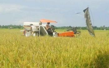 Petani di Beriut, Kuala Pembuang mulai melakukan panen padi di lahannya, Minggu (7/5/2017)