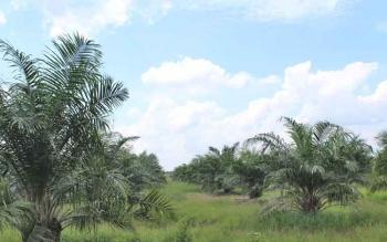 Salah satu areal perkebunan sawit di Pulang Pisau.