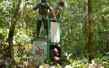 Petugas Yayasan BOS membuka pintu kandang dan mengembalikan orangutan ke alam liar.