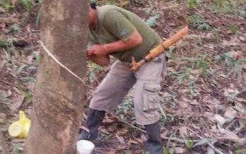 Petani di wilayah Kabupaten Gunung Mas saat menyadap karet.