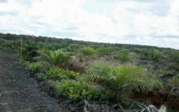 Salah satu perkebunan kelapa sawit di Kecamatan Kota Besi.