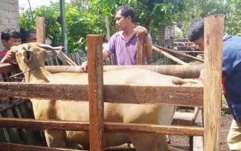 Petugas Dinas Ketahanan Pangan dan Pertanian (DKPP) Sukamara saat memeriksa hewan ternak milik warga.
