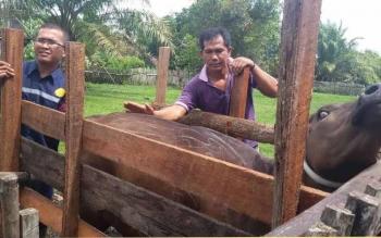 DKPP Sukamara saat memeriksa hewan ternak milik masyarakat.