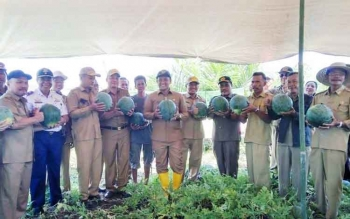 Semangka produksi petani di Desa Henda Kecamatan Jabiren Raya yang saat ini masuk masa panen.