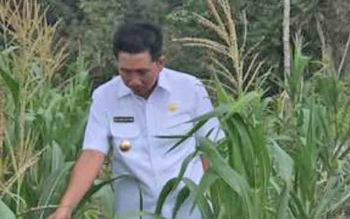 Bupati Barito Utara Nadalsyah mengecek lahan pertanian jagung rakyat di Desa Tapen Raya, Kecamatan Gunung Timang, Rabu (7/6/2017).