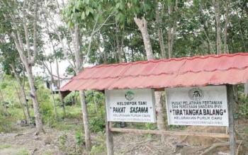 Tanaman karet milik kelompok tani di Kabupaten Mura.