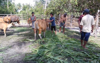 Dinas Ketahanan Pangan dan Pertanian (DKPP) Sukamara saat memeriksa reproduksi sapi betina untuk program Upsus Siwab.
