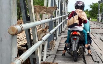 Puluhan kera yang menantikan makanan dari pengendara yang melintasi jembatan di Ujung Pandaran, Kotawaringin Timur.
