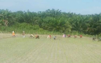 Petani di Kecamatan Balai Riam saat melakukan penanaman padi serentak ditahun 2016 lalu.