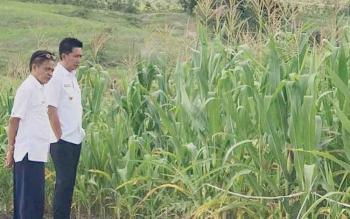 Bupai Barito Utara Nadalsyah bersama Kepala Dinas Pertanian Setia Budi meninjau lahan pertanian jagung di Desa Tapen Raya, Kecamatan Gunung Timang, beberapa waktu lalu.