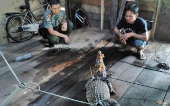 Komandan BKSDA Sampit Muriansyah sedang memeriksa buaya hasil tangkapan warga beberapa waktu lalu.