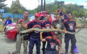 Petugas Dinas Pol PP dan Damkar Kabupaten Kapuas menangkap seekor king kobra yang panjangnya 4 meter, Jumat (21/7/2017).
