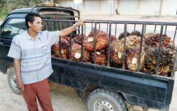 Odi, petani sawit kelurahan Nanga Bulik, bingung harus membawa TBS kemana, setelah pabrik di Kujan tak lagi beroperasi.