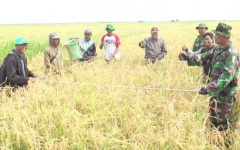 Sejumlah anggota TNI saat membantu petani di wilayah Selatan Kotim memanen padi.