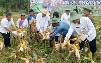 Bupati Barito Utara, Nadalsyah bersama sejumlah Kepala SOPD saat panen jagung bersama di Desa Sabuh, Kecamatan Teweh Baru.