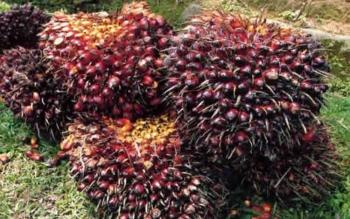 Bakrie Sumatera Plantations Dongkrak Produktivitas Via Inovasi Bibit Unggul