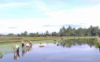 Petani menanam padi di persawahahan wilayah Kecamatan Tamban Catur Kabupaten Kapuas