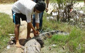 Sejumlah warga Lampuyang, Kecamatan Teluk Sampit sedang mengikat buaya yang terjebak di jaring nelayan di desa tersebut, beberapa waktu lalu.