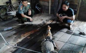 Komandan BKSDA Sampit Muriansyah sedang memeriksa buaya hasil tangkapan warga beberapa waktu lalu