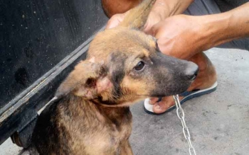 Anjing merupakan salah satu hewan pembawa penyakit rabies, selain kera dan kucing.