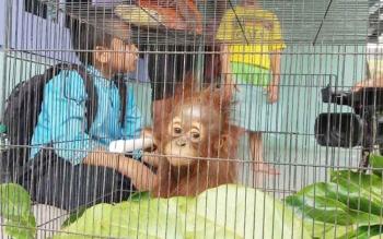 Sejumlah anak-anak sedang asik melihat orangutan yang diserahkan warga kepada BKSDA Sampit, beberapa waktu lalu.