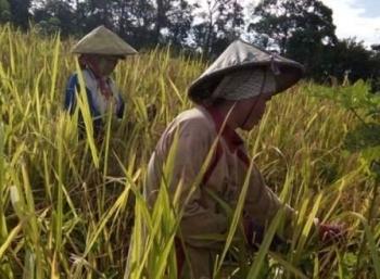 Petani di Kabupaten Gunung Mas saat panen padi