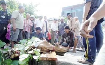 Penyembelihan hewan kurban pada Idul Adha beberapa waktu lalu