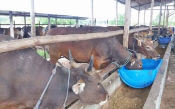 Puluhan sapi siap dibeli untuk hewan kurban menyambut Hari Raya Idul Adha yang jatuh pada 1 September 2017 ini.