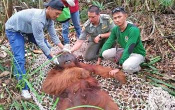 Orangutan yang tersesat di ladang warga Mendawai Seberang saat dievakuasi oleh petugas BKSDA SKW II Pangkalan Bun