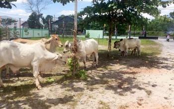 Sapi kurban milik keluarga besar Gubernur Kalimantan Tengah H Sugianto Sabran, sudah tiba di Sampit, Kamis (31/8/2017). Sebanyak 25 ekor sapi itu, akan dibagikan di sejumlah kecamatan di Kotim.