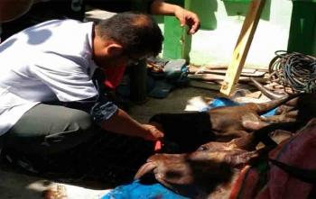 Pegawai DKPP Sukamara saat memeriksa kondisi hewan kurban, Jumat (11/9/2017)