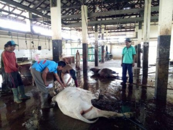 Persatuan Wartawan Indonesia (PWI) Kabupaten Kotawaringin Timur menyembelih dua ekor sapi di Rumah Potong Hewan (RPH) Kotim, Sabtu (2/9/2017).