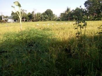 Hamparan padi di Kelurahan Kalampangan, Kecamatan Sebangau, Kota Palangka Raya, untuk pertama kalinya dipanen, Rabu (6/9/2017).