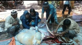 Kasi Kesehatan Hewan Drh Anik Ariswandi dan tim kesehatan hewan sedang memeriksa daging hewan kurban yang telah dipoting beberapa hari lalu.