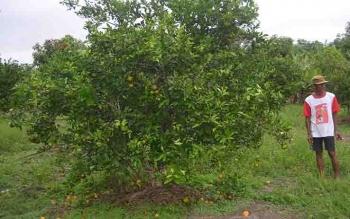Petani Jeruk di Desa Pulau Nibung, Kecamatan Jelai, Kabupaten Sukamara.