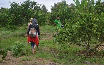 Kawasan pertanian jeruk di Desa Pulau Nibung, Kecamatan Jelai, Kabupaten Sukamara.