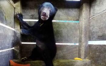 Beruang madu berjenis kelamin jantan diserahkan warga ke BKSDA Kotim.